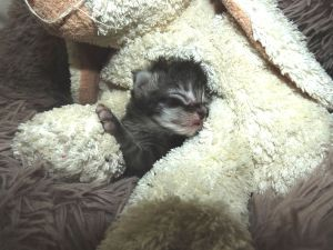 Chatterie Coon Toujours, Roswell de Coon Toujours, chaton maine coon femelle, black silber mackerel tabby, 1 semaine