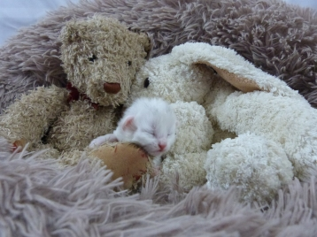 Chatterie Coon Toujours, Ravec de Coon Toujours, femelle blanche, chaton maine coon, une semaine