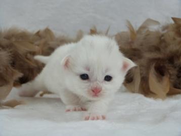Chatterie Coon Toujours, Raven de Coon Toujours, chaton femelle maine coon, deux semaines, blanche