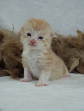 Chatterie Coon Toujours, Ralf de Coon Toujours, chaton maine coon mâle, deux semaines, red silver mackerel tabby et blanc