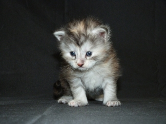 Chatterie Coon Toujours, Chaton femelle maine coon, trois semaines, black tortie smoke