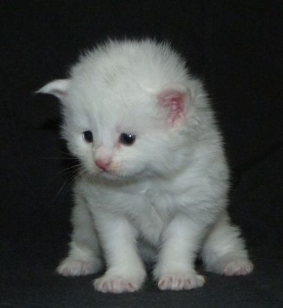 Chatterie Coon Toujours, Raven, chaton femelle maine coon, trois semaines, blanche