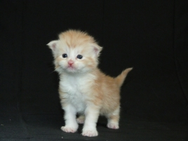 Chatterie Coon Toujours, chaton mâle maine coon, trois semaines, red silver mackerel tabby et blanc