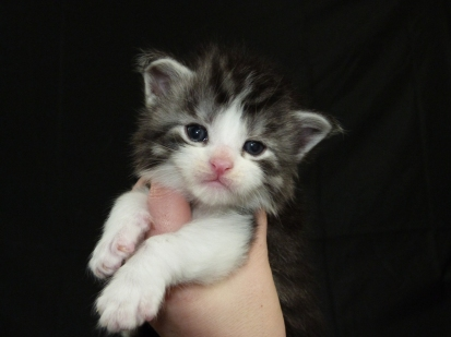 Chatterie Coon Toujours, chaton maine coon mâle, trois semaines, black silver mackerel tabby et blanc