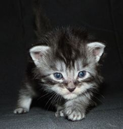 Chatterie Coon Toujours, Roswell, chaton femelle maine coon, 3 semaines, black silver mackerel tabby
