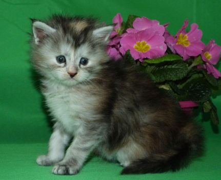 Chatterie Coon Toujours, Reggae Night de Coon Toujours, chaton femelle maine coon, 4 semaines, black tortie smoke