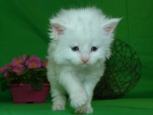 Chatterie Coon Toujours, Raven de Coon Toujours, chaton femelle maine coon, 4 semaines, blanche