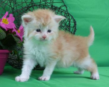 Chatterie Coon Toujours, Ralf de Coon Toujours, chaton maine coon mâle, 4 semaines, red silver mackerel tabby et blanc