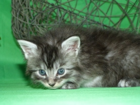 Chatterie Coon Toujours, Roswell de Coon Toujours, chaton femelle maine coon, 4 semaines, black silver mackerel tabby