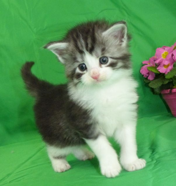 Chatterie Coon Toujours, Rio de Coon Toujours, chaton maine coon mâle, 4 semaines, black silver mackerel tabby et blanc