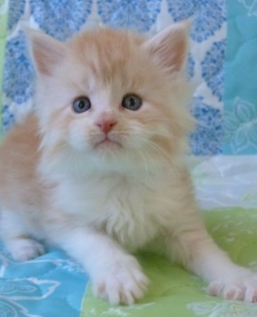 Chatterie Coon Toujours, Ralf de Coon Toujours, chaton maine coon mâle, 5 semaines, red silver mackerel tabby et blanc