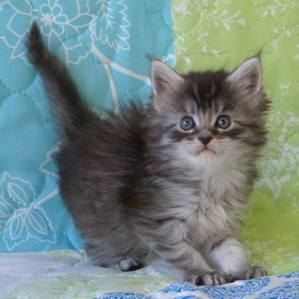Chatterie Coon Toujours, R'Pookie de Coon Toujours, chaton maine coon femelle, 5 semaines, black silver mackerel tabby