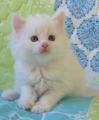 Chatterie Coon Toujours, Raven de Coon Toujours, chaton femelle maine coon, 5 semaines, blanche