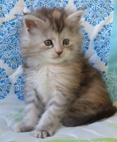 Chatterie Coon Toujours, Reggae Night de Coon Toujours, Chaton femelle maine coon, 5 semaines, black tortie smoke