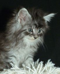 Chatterie Coon Toujours, Pookie, chaton maine coon femelle, 6 semaines, black silver mackerel tabby