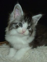 Chatterie Coon Toujours, Rio de Coon Toujours, chaton mâle maine coon, 6 semaines, black silver mackerel tabby et blanc