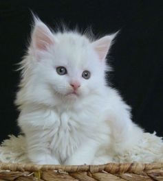 Chatterie Coon Toujours, Raven de Coon Toujours, chaton femelle maine coon, 6 semaines, blanche