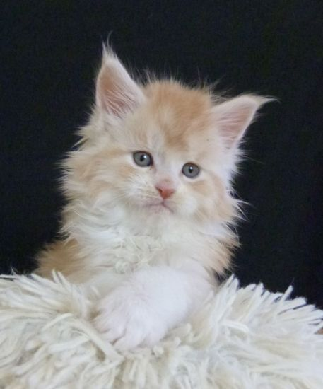 Chatterie Coon Toujours, Ralf de Coon Toujours, chaton mâle maine coon, 6 semaines, red silver mackerel tabby et blanc