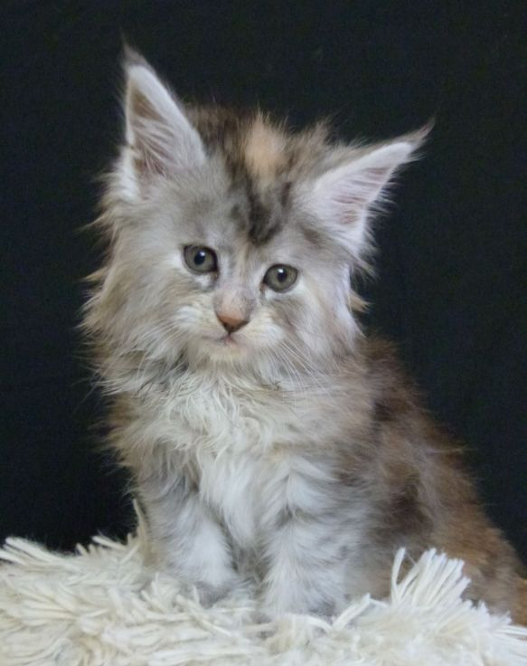 Chatterie Coon Toujours, Reggae Night de Coon Toujours, chaton femelle maine coon, 6 semaines, black tortie smoke