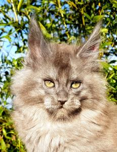 Chatterie Coon Toujours, Voodoo Night, chaton maine coon mâle, bleu smoke