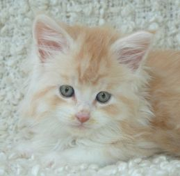 Chatterie Coon Toujours, Ralf de Coon Toujours, chaton maine coon mâle, 7 semaines, red silver mackerel tabby et blanc