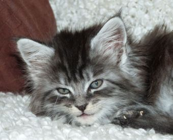Chatterie Coon Toujours, R'Pookie de Coon Toujours, chaton femelle maine coon, 7 semaines, black silver mackerel tabby
