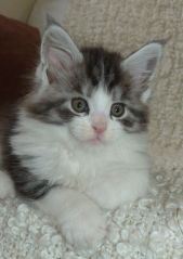 Chatterie Coon Toujours, Rio de Coon Toujours, chaton mâle maine coon, 7 semaines, black silver mackerel tabby et blanc