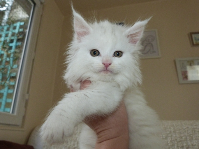 Chatterie Coon Toujours, Raven de Coon Toujours, chaton femelle maine coon, 7 semaines, blanche