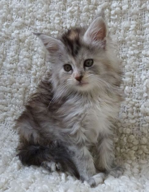Chatterie Coon Toujours, Reggae Night de Coon Toujours, chaton maine coon femelle, 7 semaines, black tortie moke