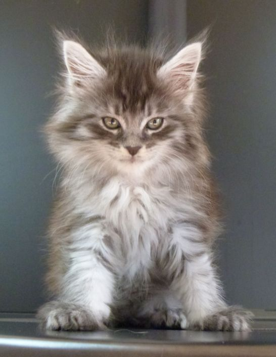 Chatterie Coon Toujours, R'Pookie de Coon Toujours, chaton maine coon femelle, 8 semaines, black silver mackerel tabby