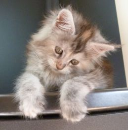 Chatterie Coon Toujours, Raeggae Night de Coon Toujours, chaton femelle maine coon, 8 semaine, black tortie silver blotched tabby