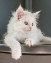 Chatterie Coon toujours, Raven de Coon Toujours, chaton femelle maine coon, 8 semaines, blanche