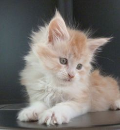 Chatterie Coon Toujours, chaton maine coon mâle, 8 semaines, red silver mackerel tabby et blanc