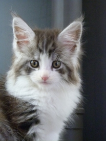 Chatterie Coon Toujours, Rio de Coon Toujours, chaton maine coon mâle, 8 semaines, black silver mackerel tabby et blanc