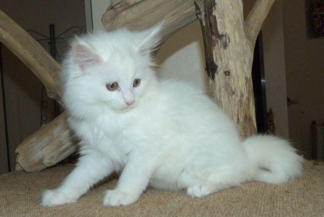 Chatterie Coon Toujours, Ravec de Coon Toujours, chaton femelle maine coon 9 semaines, blanche