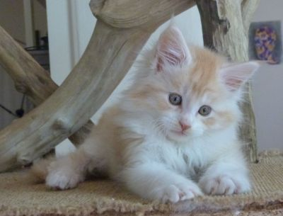 Chatterie Coon Toujours, Ralf de Coon Toujours, chaton mâle maine coon, 9 semaines, red silver mackerel tabby et blanc
