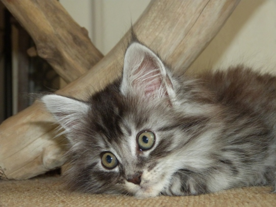 Chatterie Coon Toujours, R'Pookie de Coon Toujours, chaton femelle maine coon, 9 semaines, black silver mackerel tabby