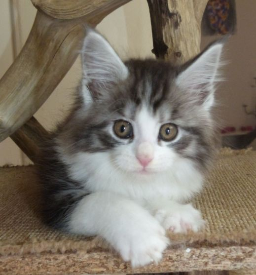 Chatterie Coon Toujours, Rio de Coon Toujours, chaton maine coon mâle, 9 semaines, black silver mackerel tabby et blanc
