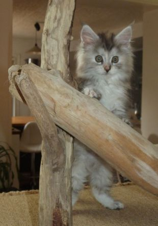 Chatterie Coon Toujours, Raeggae Night de Coon Toujours, chaton femelle maine coon, 9 semaines, black tortie silver blotched tabby