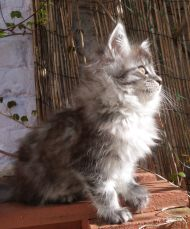 Chatterie Coon Toujours, R'Pookie de Coon Toujours, chaton femelle Maine Coon, 10 semaines, black silver mackerel tabby