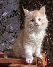 Chatterie Coon Toujours, Ralf de Coon Toujours, chaton maine coon mâle, 10 semaines, red silver mackerel tabby et blanc