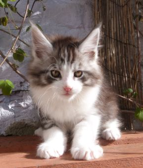 Chatterie Coon Toujours, Rio de Coon Toujours, chaton maine coon mâle, 10 semaines, black silver mackerel tabby et blanc