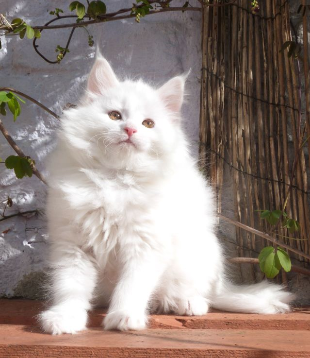 Chatterie Coon Toujours, Raven de Coon Toujours, chaton femelle maine coon, 10 semaines, blanche