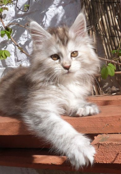 Chatterie Coon Toujours, Raeggae Night de Coon Toujours, chaton femelle maine coon, 10 semaines, black tortie silver blotched tabby