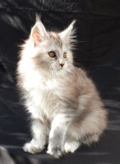 Chatterie Coon Toujours, Raeggae Night de Coon Toujours, chaton femelle maine coon, 11 semaines, black tortie silver blotched tabby