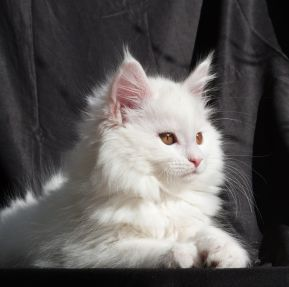 Chatterie Coon Toujours, Raven de Coon Toujours, Chaton femelle Maine Coon, 11 semaines, blanche
