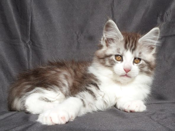 Chatterie Coon Toujours, Rio de Coon Toujours, chaton mâle maine coon, 11 semaines, black silver mackerel tabby et blanc
