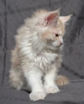 Chatterie Coon Toujours, Ralf de Coon Toujours, chaton maine coon mâle, 11 semaines, red silver mackerel tabby et blanc