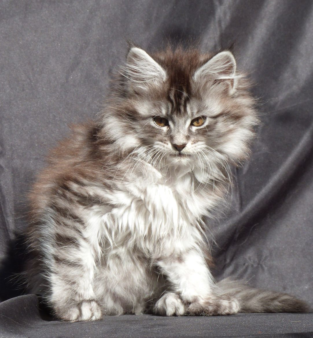 Chatterie Coon Toujours, R'Pookie de Coon Toujours, chaton femelle maine coon, 11 semaines, black silver mackerel tabby