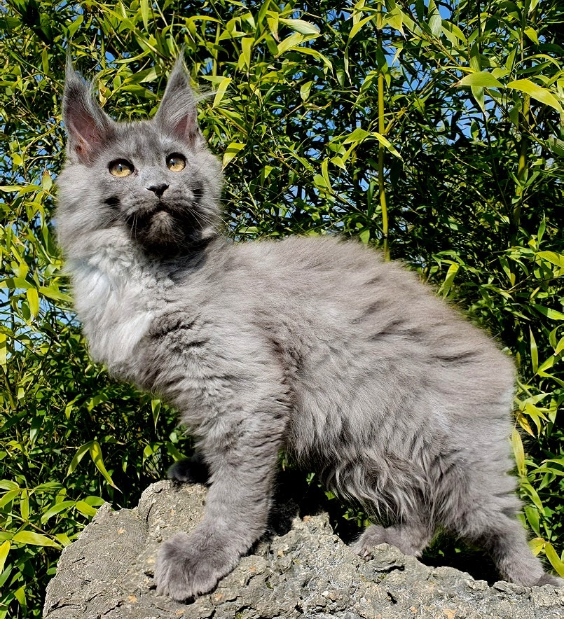 Chatterie Coon Toujours, Voodoo Night, chaton mâle, maine coon, bleu smoke